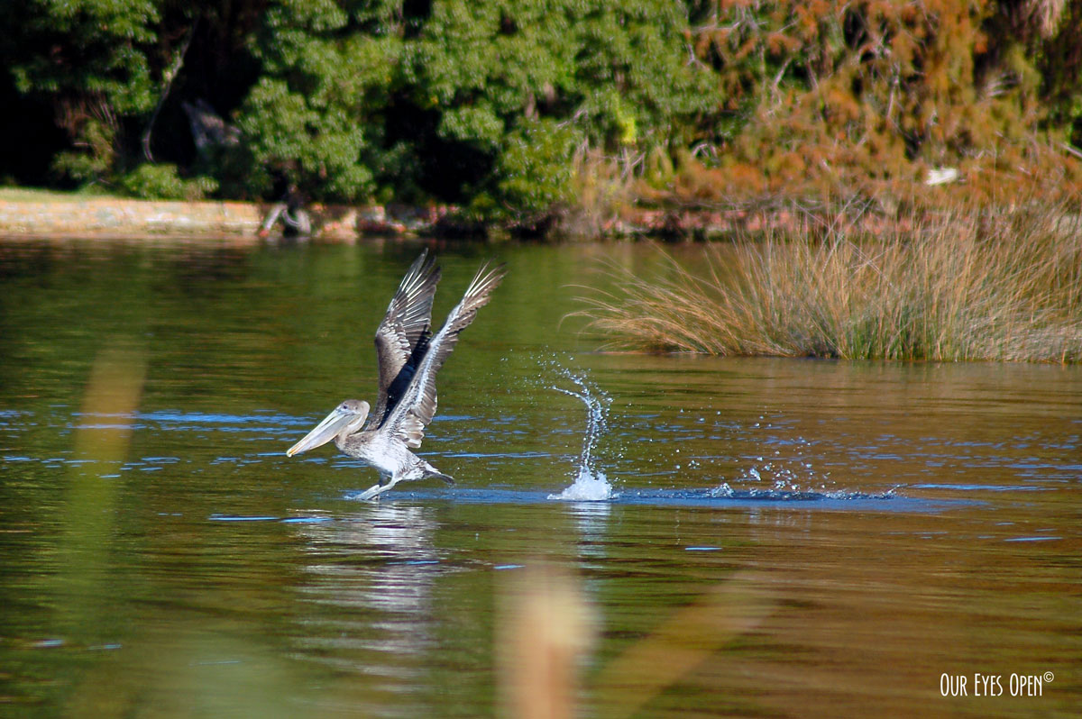Brown Pelican taking off in the St. Johns River.