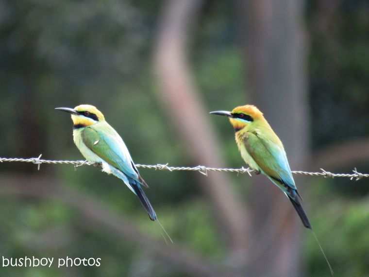 Rainbow Bee-eaters in Australia captured by Brian at bushboyswold.blog.