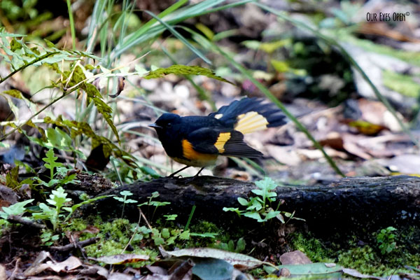 Young male American Redstart flitting around feeding on insects at Tree Hill Nature Center in Jacksonville, Florida.