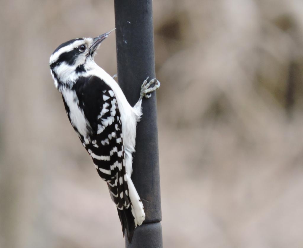 Lisa's Downy Woodpecker