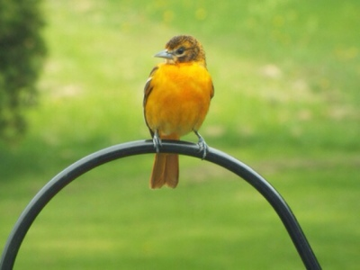 Bud's Baltimore Oriole - 1st Fall
