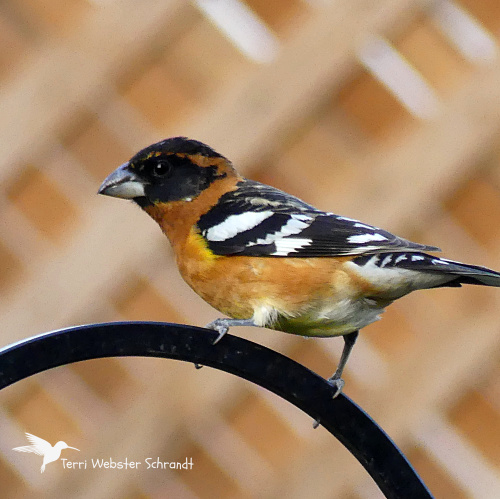 Terri's Black-headed Grosbeak