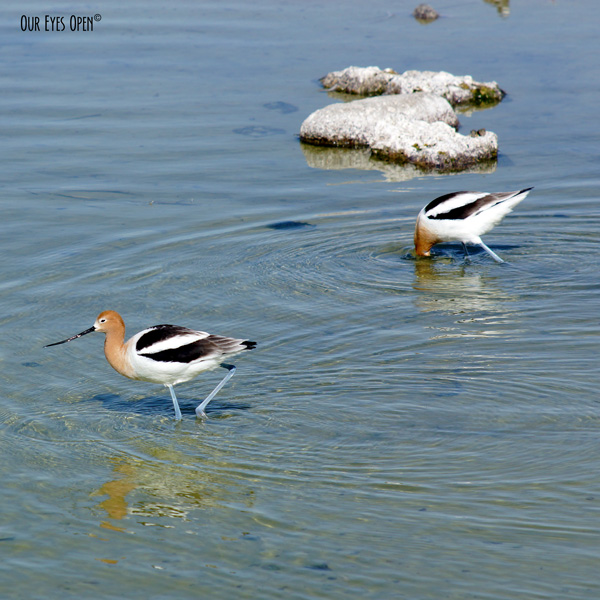 American Avocets scouring for food at Henderson Birding Preserve near Las Vegas, Nevada.