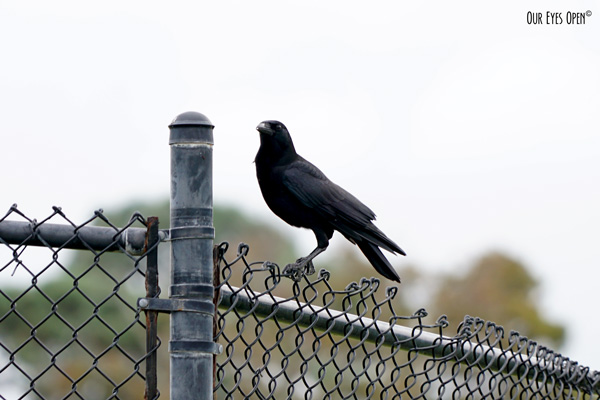 American Crow perched on a fence in Jacksonville, Florida.
