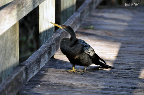 Anhinga hanging out on the boardwalk as we were hiking.