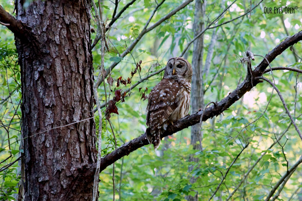Barred Owl at Reddie Point Preserve in Jacksonville, Florida.