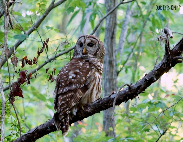Barred Owl perched in a tree at Reddie Point Park in Jacksonville, Florida.