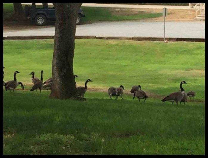 Marsha's Canada Geese