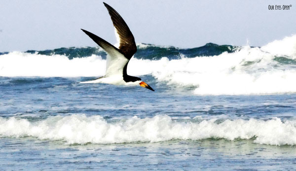 Black Skimmer foraging along the shoreline of Little Talbot Island State Park in Jacksonville, Florida with the Atlantic Ocean in the backdrop.