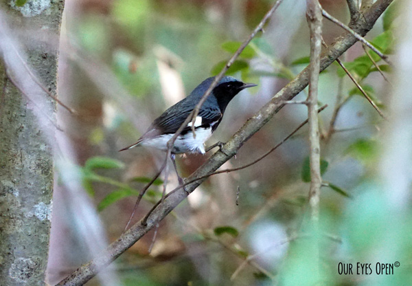 Black-throated Blue Warbler perched up in a tree in our backyard.