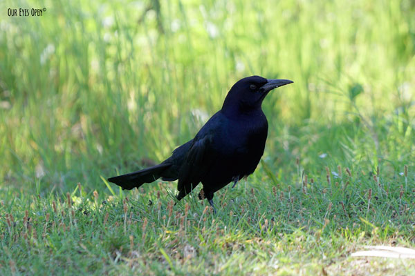 Boat-tailed Grackle are dominant in Florida and this one was begging for food at St. Marks Wildlife Refuge near Tallahassee, Florida.