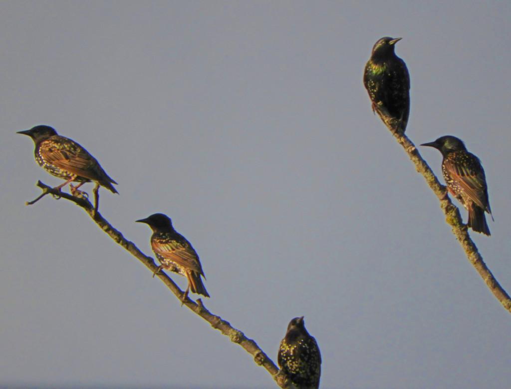 V.J.'s European Starlings