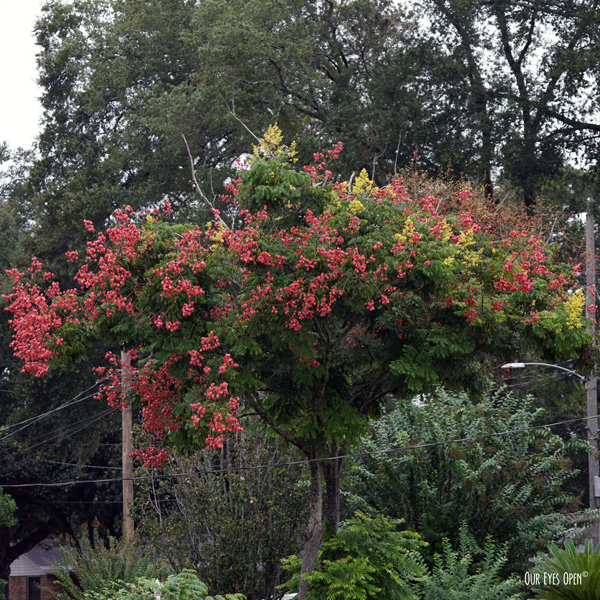 Fully bloomed Crepe Myrtle in Jacksonville, Florida.
