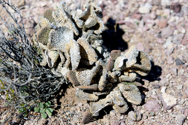 Dried up cactus at Red Rock Canyon near Las Vegas, Nevada.