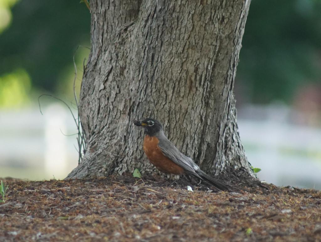 Amoralegria's American Robin