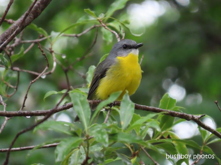 Brian's Eastern Yellow Robin