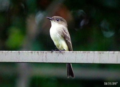 My Eastern Phoebe
