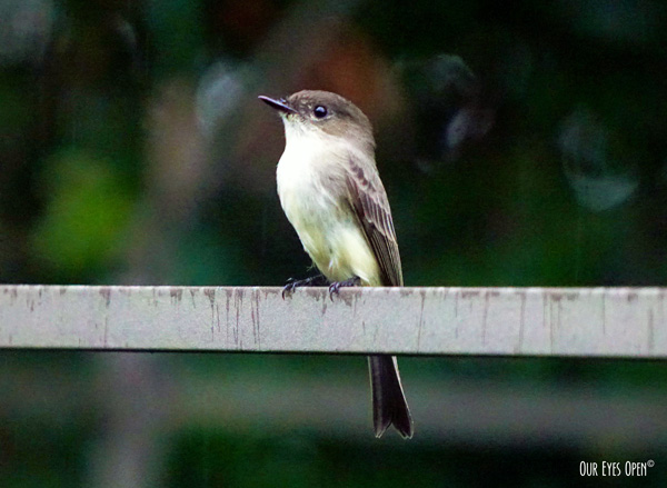 Eastern Phoebe who has been seen in our yard for about 2 weeks.