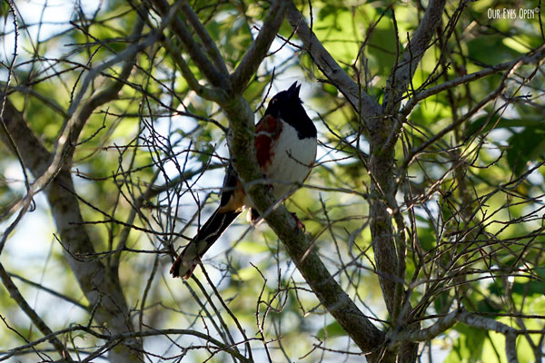 Male Eastern Towhee singing loudly in a tree at St. Marks Wildlife Refuge near Tallahassee, Florida.