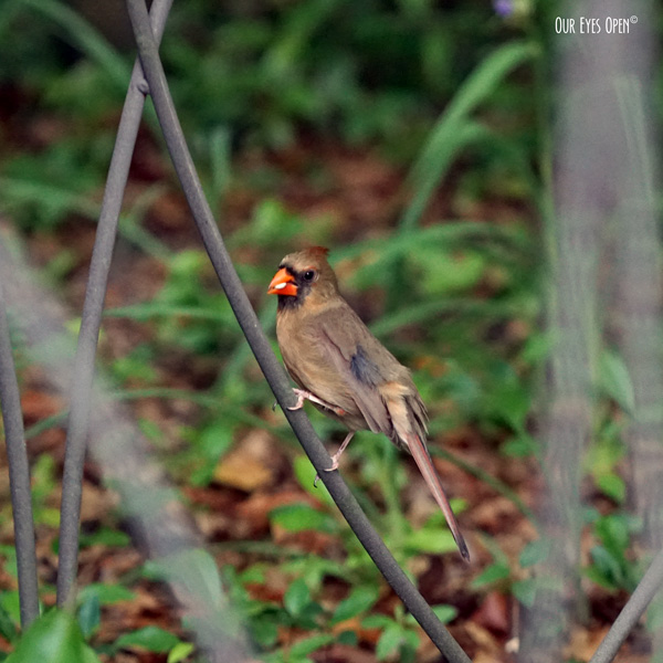 Female Northern Cardinal eating a seed that she absconded from our feeders.