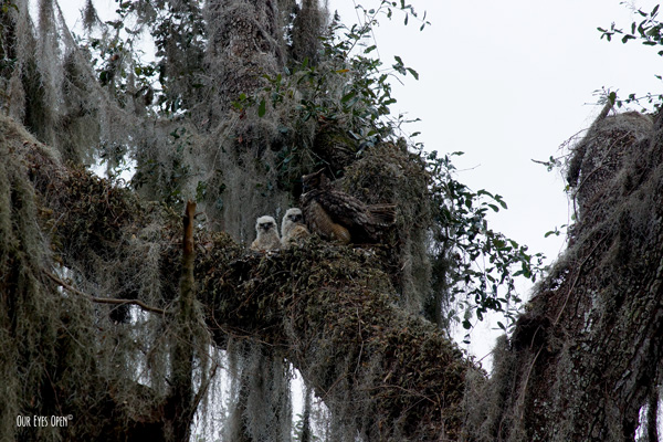 Pair of Great Horned Owl chicks with the female taking a nap in a large live oak tree in Gainesville, FL.