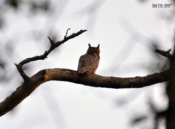 Great Horned Owl perched up taking a last bit of nap at sundown.  Almost time to go to work.