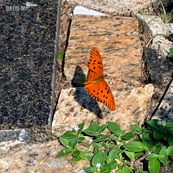 Gulf Fritillary Butterfly crossed my path today with it's orange and black colors.