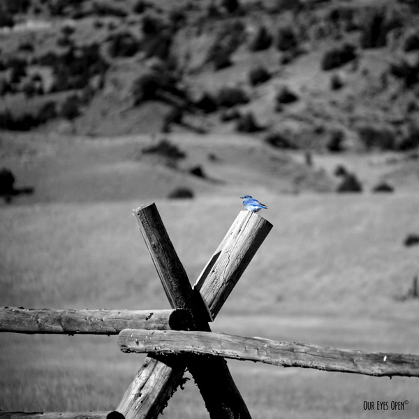 Mountain Bluebird perched on a fence in Montana.