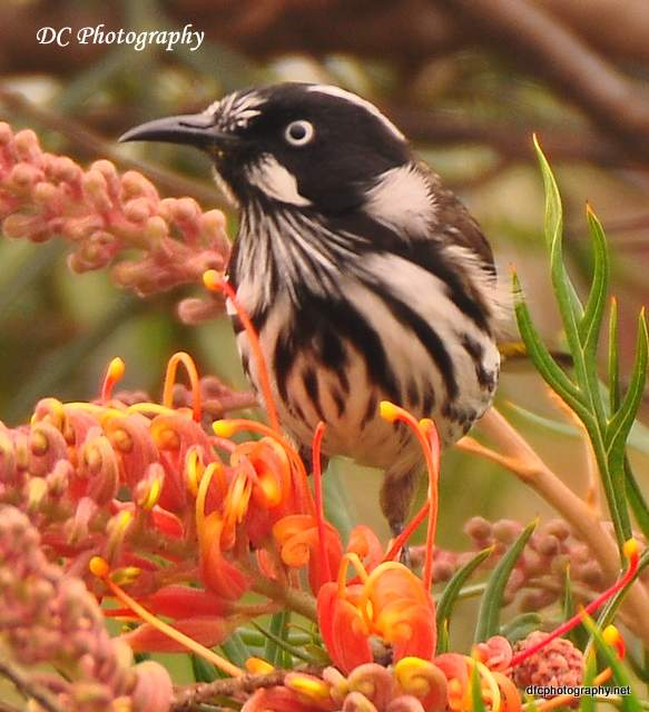 Wooley's New Holland Honey Eater