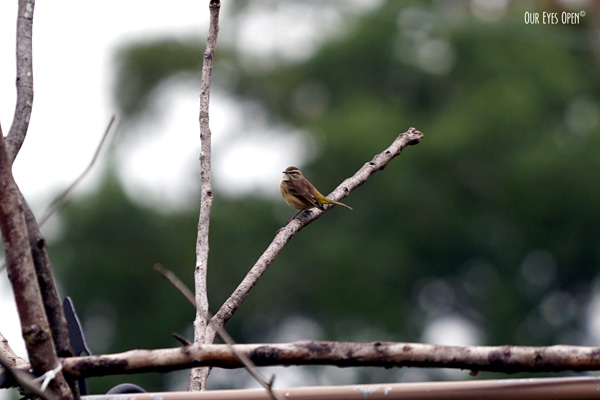 Palm Warbler perched up on our manmade feeder.