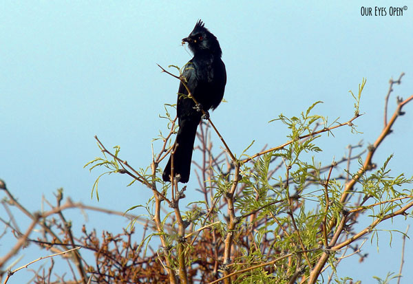 Plainopepla perched high in a Mesquite tree at Floyd Lamb Park outside of Las Vegas, Nevada.