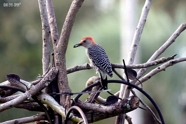 Red-bellied Woodpecker indulging in a snack from our feeders.