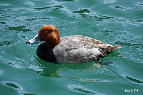 Redhead Duck floating in Lake Mead in Boulder City, Nevada.