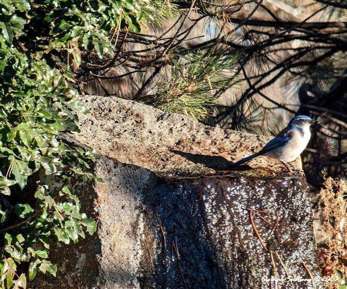 Siobhan's California Jay