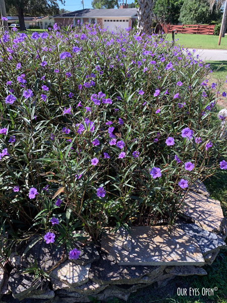Mexican Petunias in full bloom in the front yard is the last photo taken with my IPhone in September.