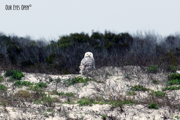 Snowy Owl on Little Talbot Island State Park beach in Jacksonville, Florida several years ago.  This owl was rare to the area.