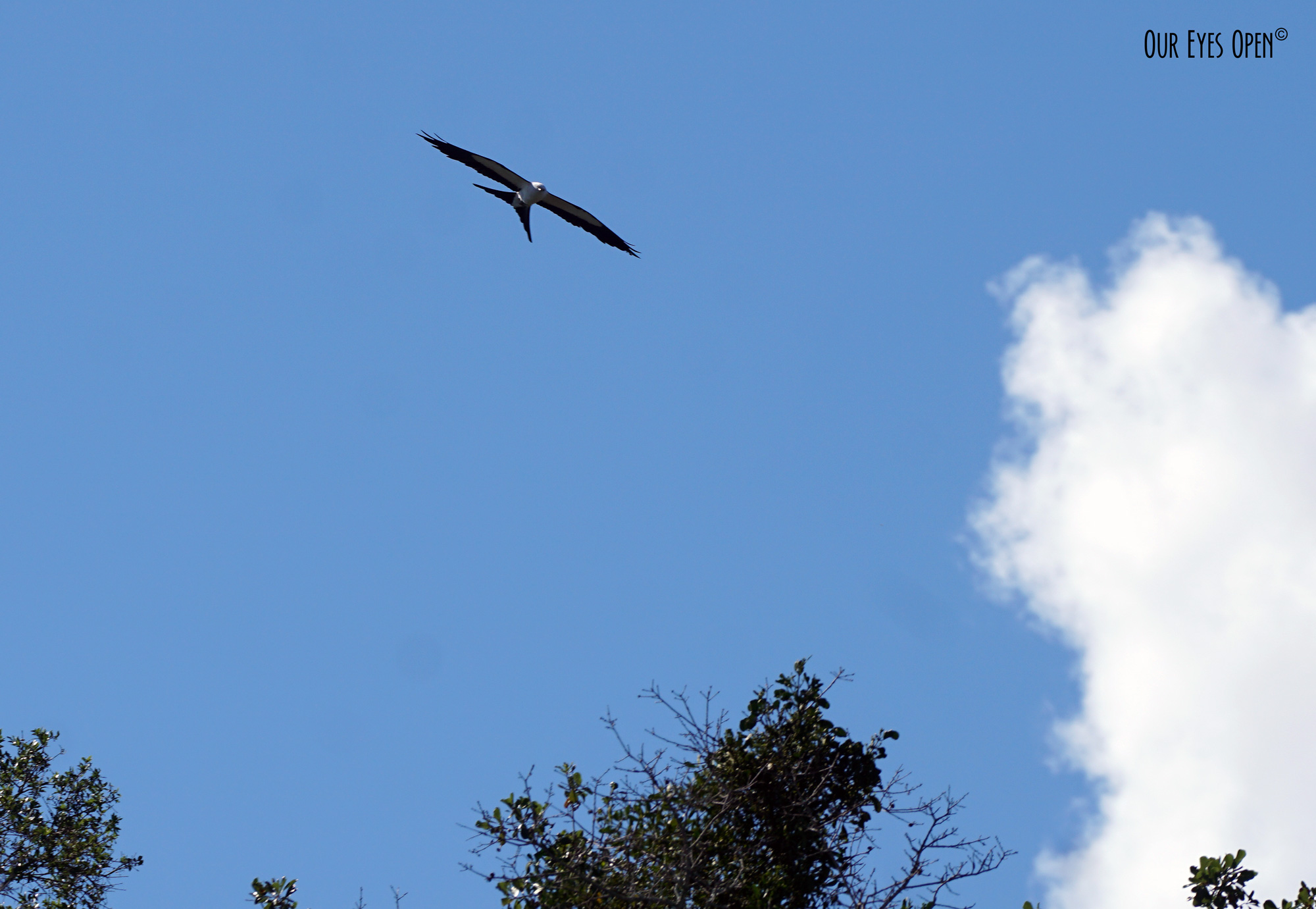 Swallow-tailed Kite flying low above our front yard.