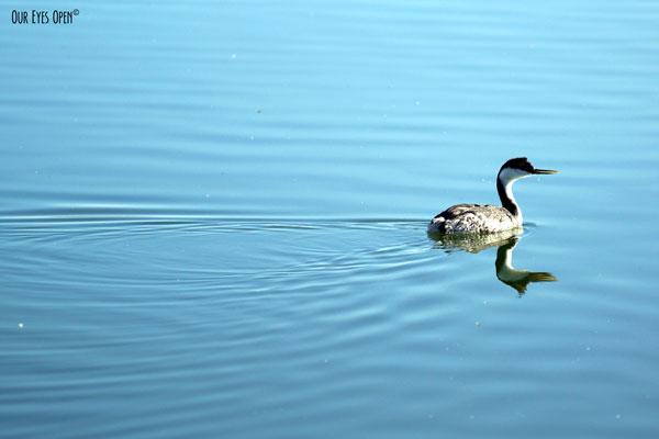 Western Grebe paddling along at Henderson Birding Preserve in Henderson, Nevada, a superb of Las Vegas.