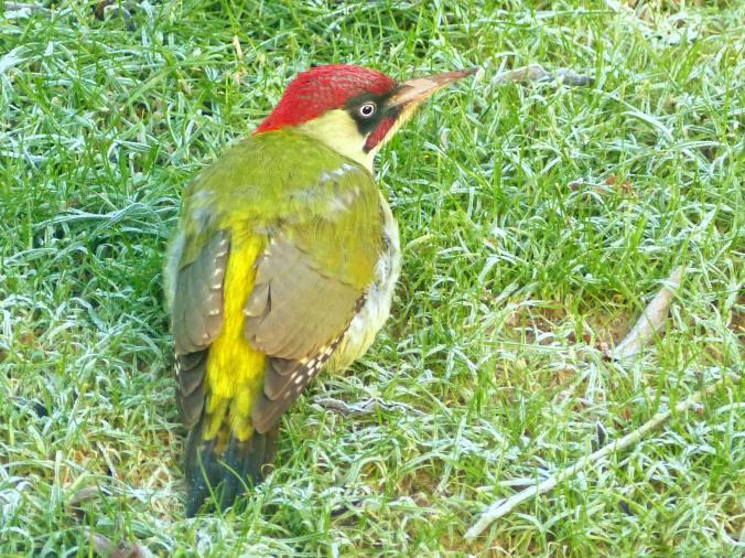 Margaret's Green Woodpecker