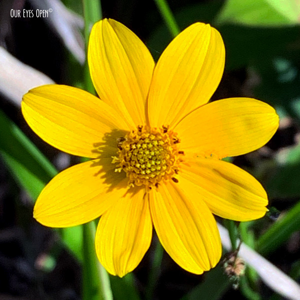 Yellow wildflower in Okefenokee Wildlife Refuge.