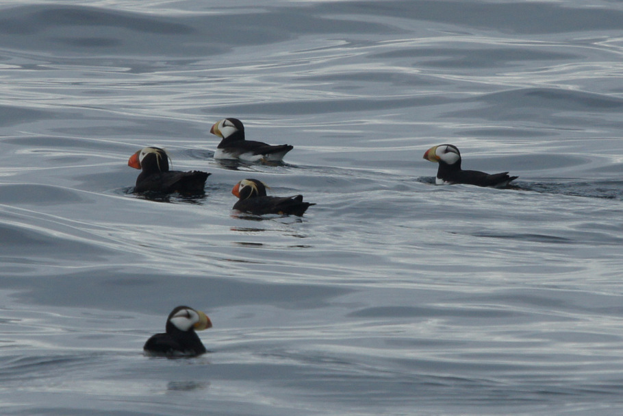 Beth's Puffins