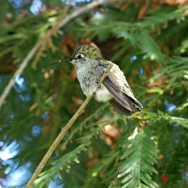 Terri's Anna's Hummingbird