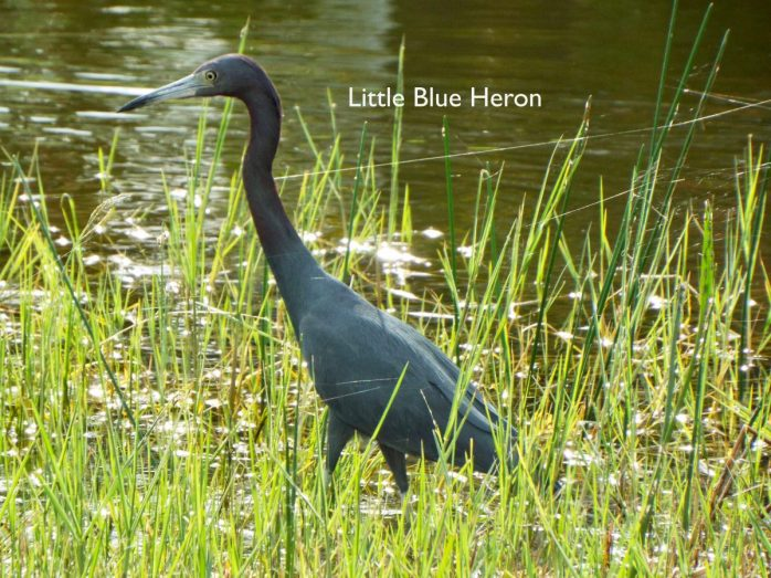 Bud's Little Blue Heron