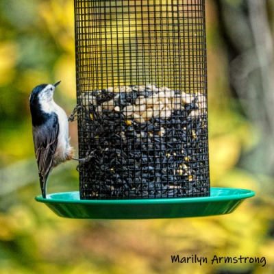 Marilyn's White-breasted Nuthatch