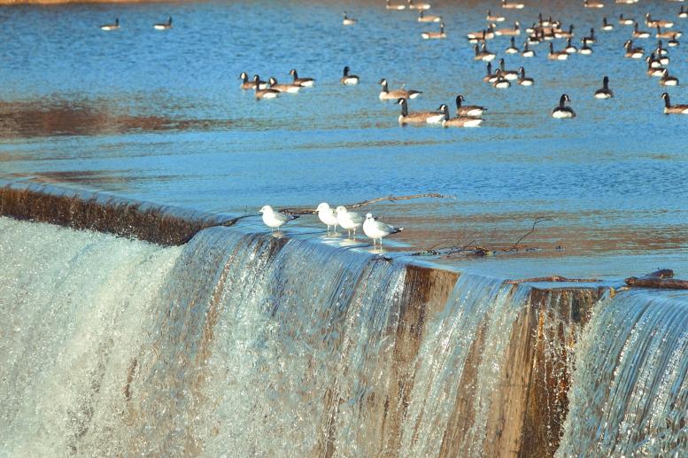 VJ's Gulls & Geese