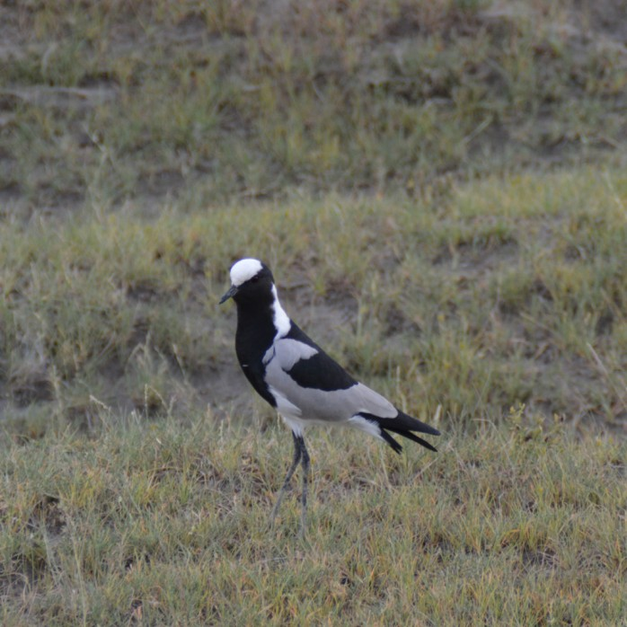 Amoralegria's Blacksmith Plover