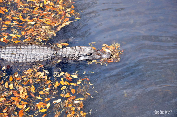 Alligator swimming through leaves.