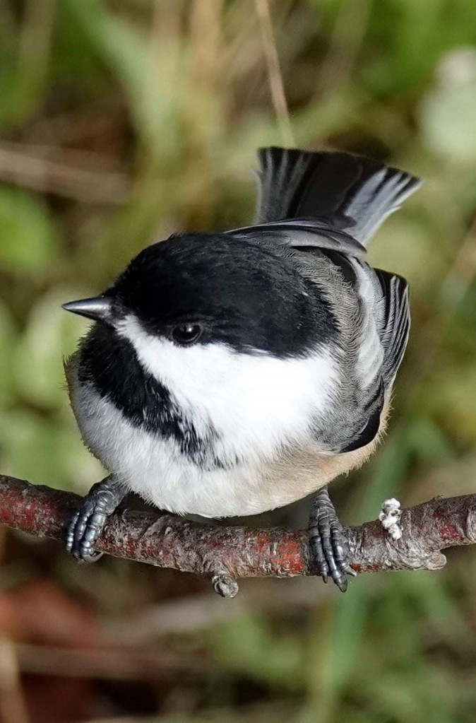 Anita's Black-capped Chicadee