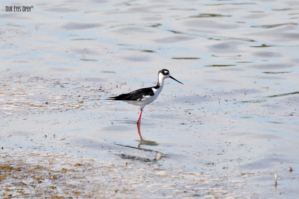 Black-necked Stilt in search of food. Don't blind yourself looking at their pink legs.