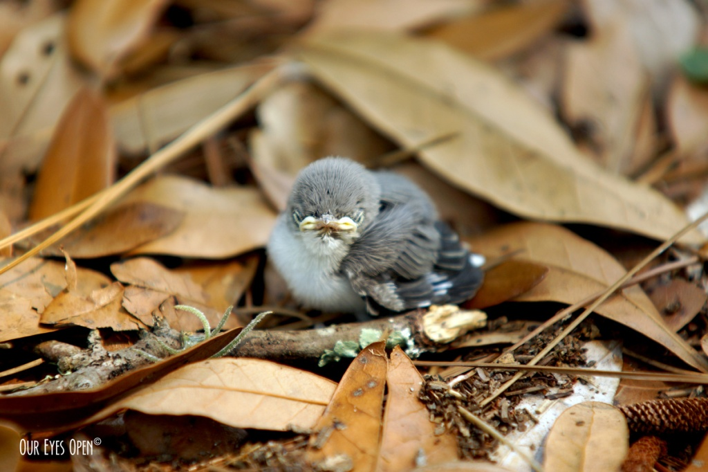 Blue-gray Gnatcatcher sitting upon a bed of dried oak leaves after falling from the nest by gusty winds.